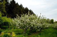 Orchard_Bloom_02