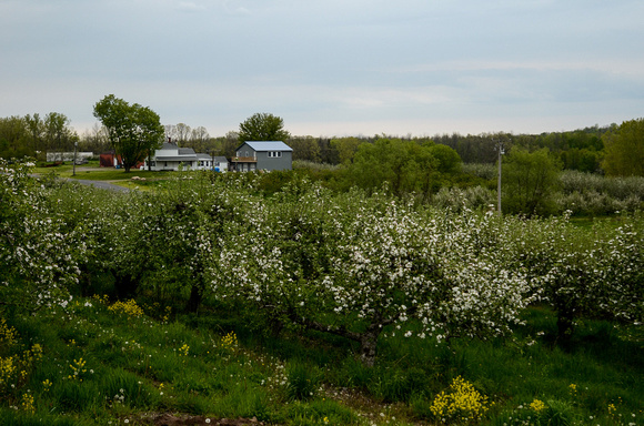 Orchard_Bloom_04
