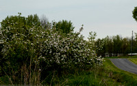 Orchard_Bloom_13