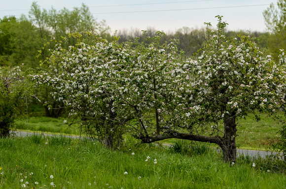 Orchard_Bloom_18