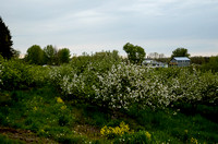 Orchard_Bloom_05