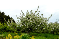 Orchard_Bloom_07