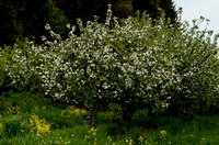 Orchard_Bloom_15